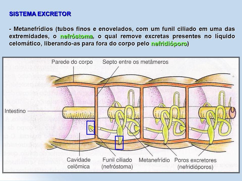 SISTEMA EXCRETOR - Metanefrídios (tubos finos e enovelados, com um funil ciliado em uma das extremidades, o nefróstoma, o qual remove excretas present