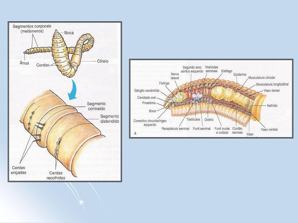 POLYCHAETA - Possuem numerosas cerdas corporais, as quais são implantadas em expansões laterais do corpo, denominadas parapódios - Possuem cabeça diferenciada, dotada de vários apêndices sensoriais (palpos / tentáculos / cerdas) - Maioria marinha (Nereis virens) - Denominados tubícolas (vivem dentro de tubos que eles próprios cavam no solo)