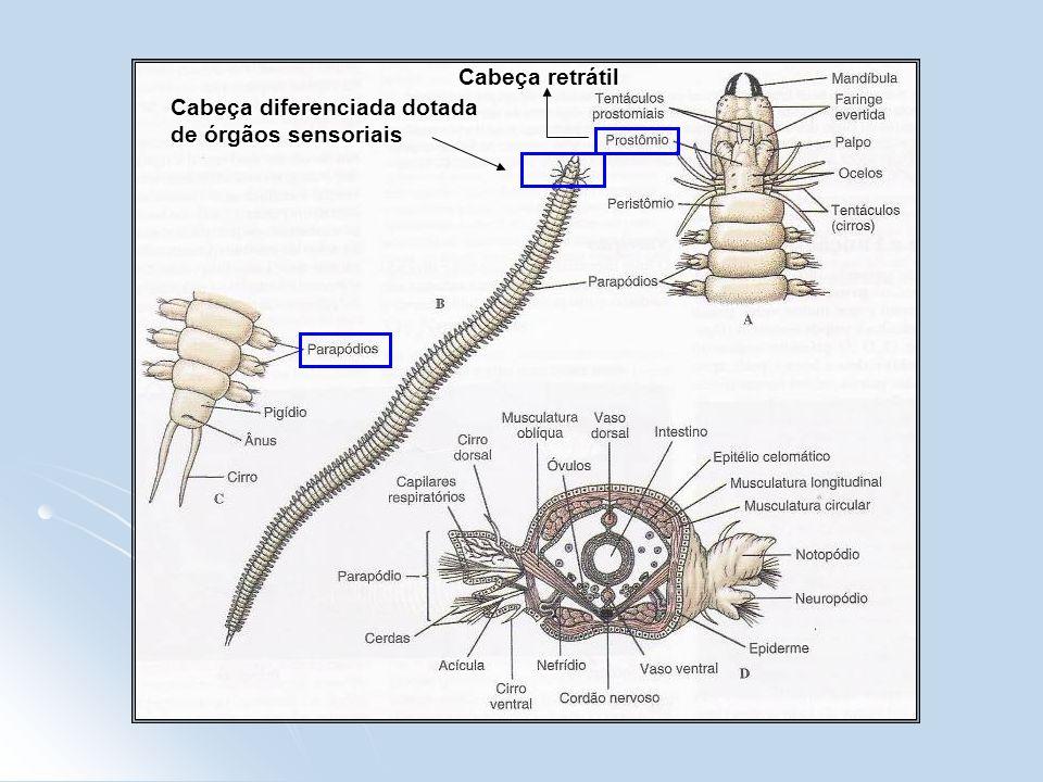 Cabeça diferenciada dotada de órgãos sensoriais Cabeça retrátil