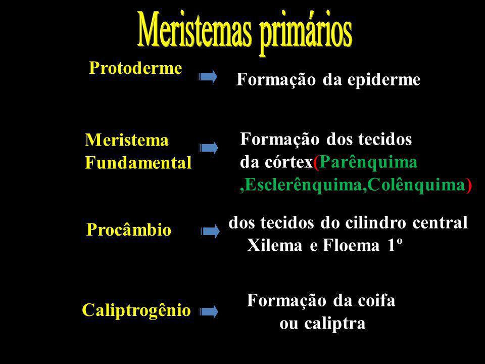 Protoderme Dermatogênio Formação da epiderme Meristema Fundamental PERIBLEMA Formação dos tecidos da córtex(Parênquima,Esclerênquima,Colênquima) Procâ