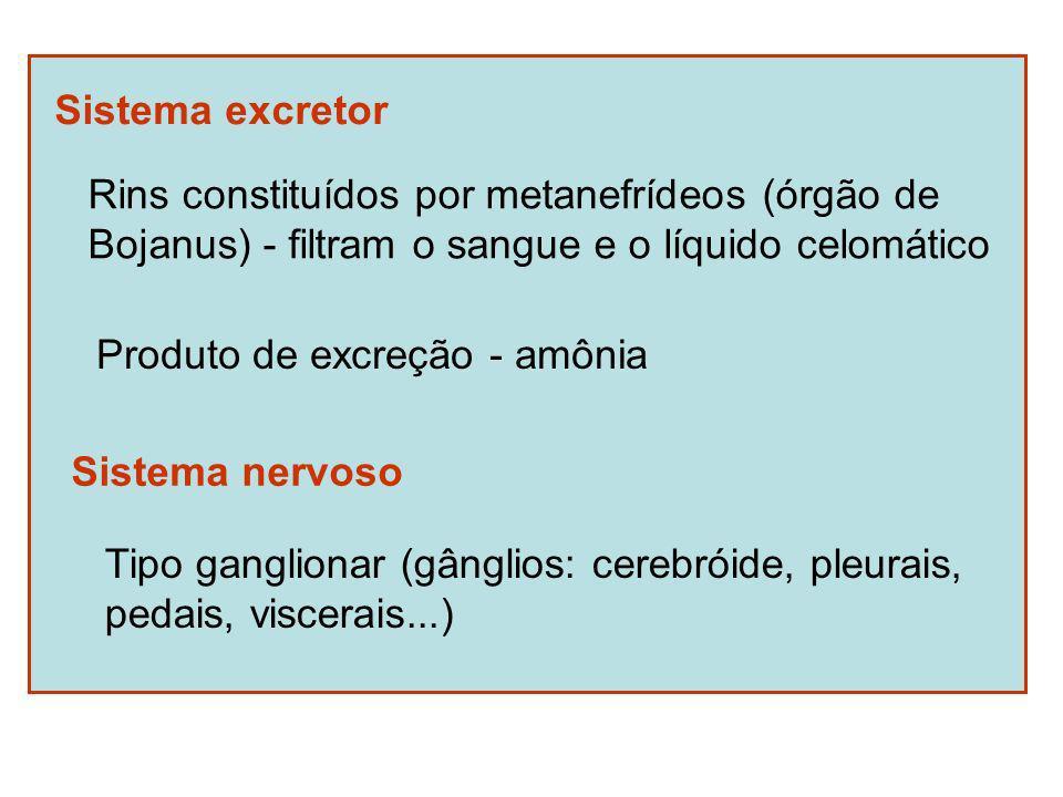 Sistema excretor Rins constituídos por metanefrídeos (órgão de Bojanus) - filtram o sangue e o líquido celomático Produto de excreção - amônia Sistema nervoso Tipo ganglionar (gânglios: cerebróide, pleurais, pedais, viscerais...)