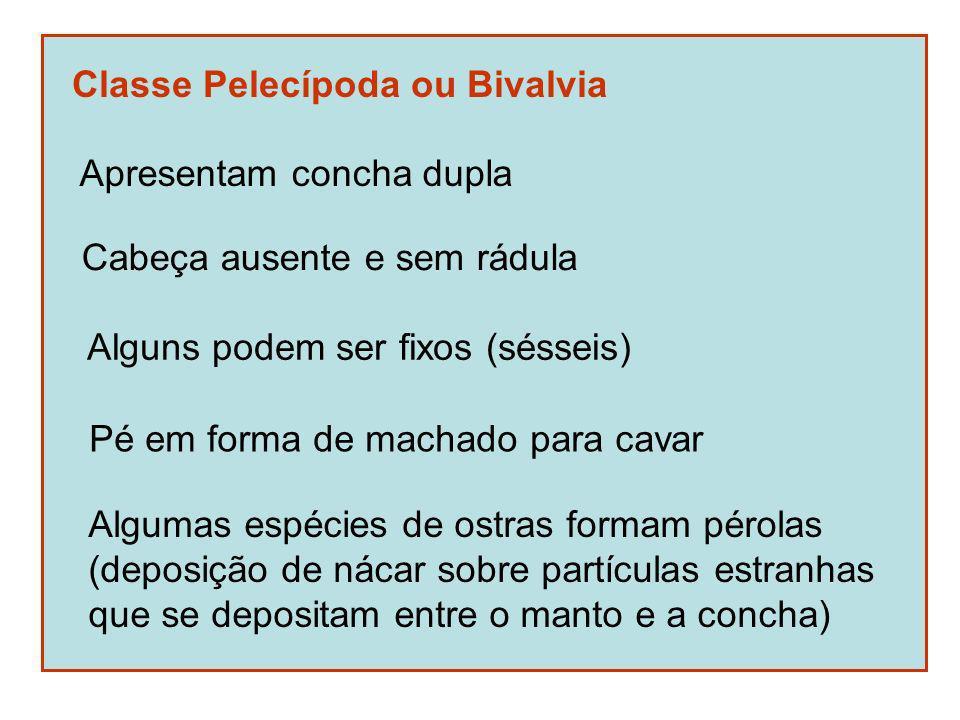 Classe Pelecípoda ou Bivalvia Apresentam concha dupla Cabeça ausente e sem rádula Alguns podem ser fixos (sésseis) Pé em forma de machado para cavar A