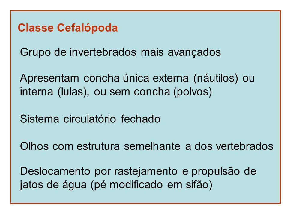 Classe Cefalópoda Grupo de invertebrados mais avançados Apresentam concha única externa (náutilos) ou interna (lulas), ou sem concha (polvos) Olhos com estrutura semelhante a dos vertebrados Deslocamento por rastejamento e propulsão de jatos de água (pé modificado em sifão) Sistema circulatório fechado