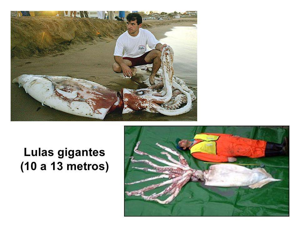 Lulas gigantes (10 a 13 metros)