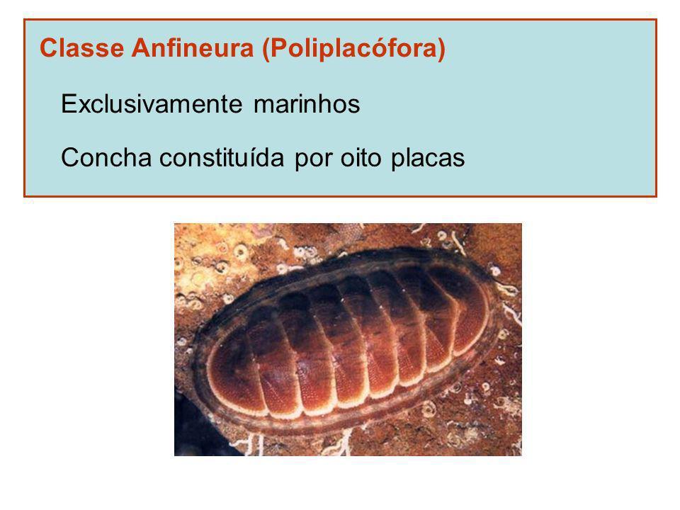 Classe Anfineura (Poliplacófora) Exclusivamente marinhos Concha constituída por oito placas