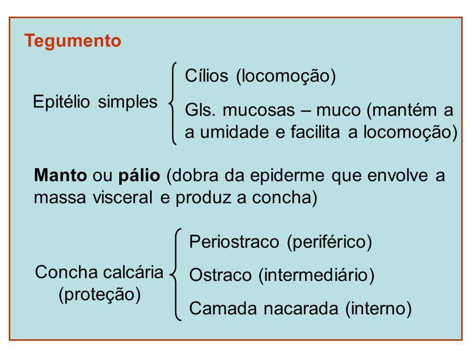 Tegumento Manto ou pálio (dobra da epiderme que envolve a massa visceral e produz a concha) Concha calcária (proteção) Periostraco (periférico) Ostrac
