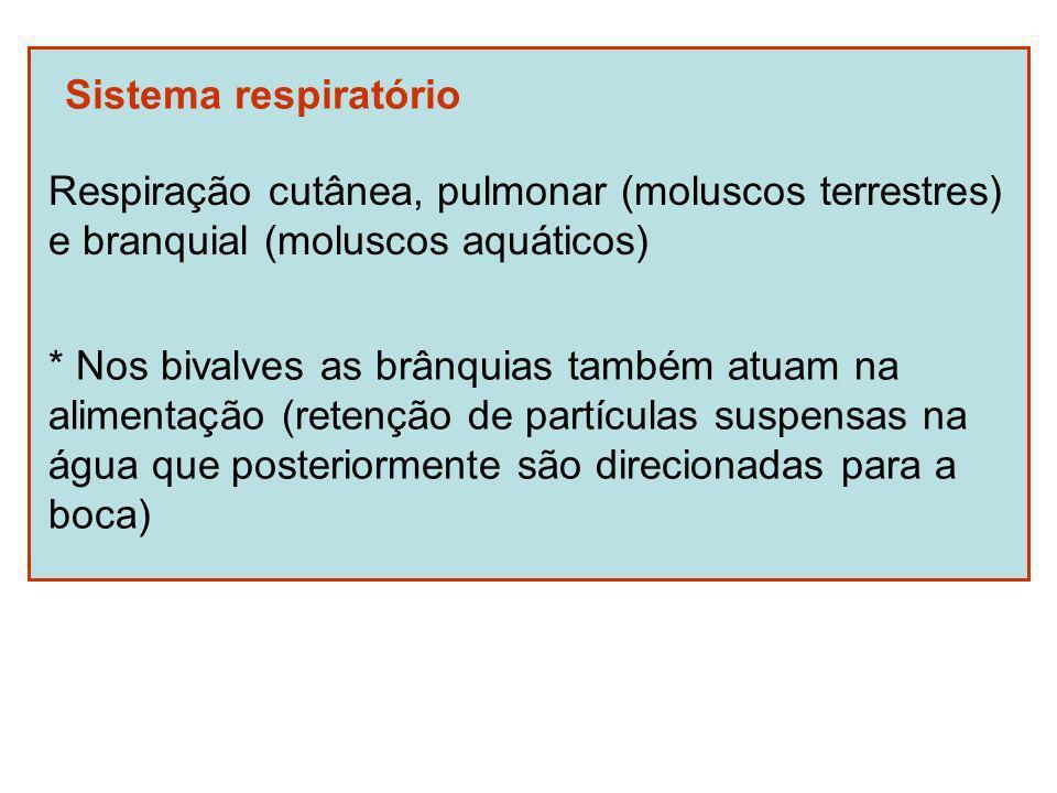 Sistema respiratório Respiração cutânea, pulmonar (moluscos terrestres) e branquial (moluscos aquáticos) * Nos bivalves as brânquias também atuam na alimentação (retenção de partículas suspensas na água que posteriormente são direcionadas para a boca)