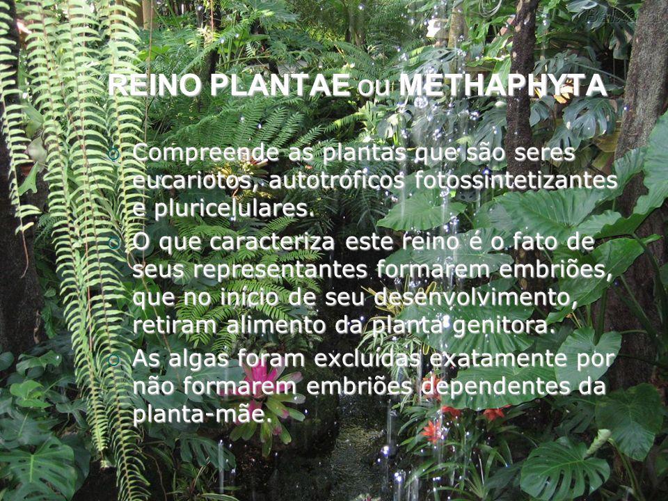REINO PLANTAE ou METHAPHYTA Compreende as plantas que são seres eucariotos, autotróficos fotossintetizantes e pluricelulares. Compreende as plantas qu