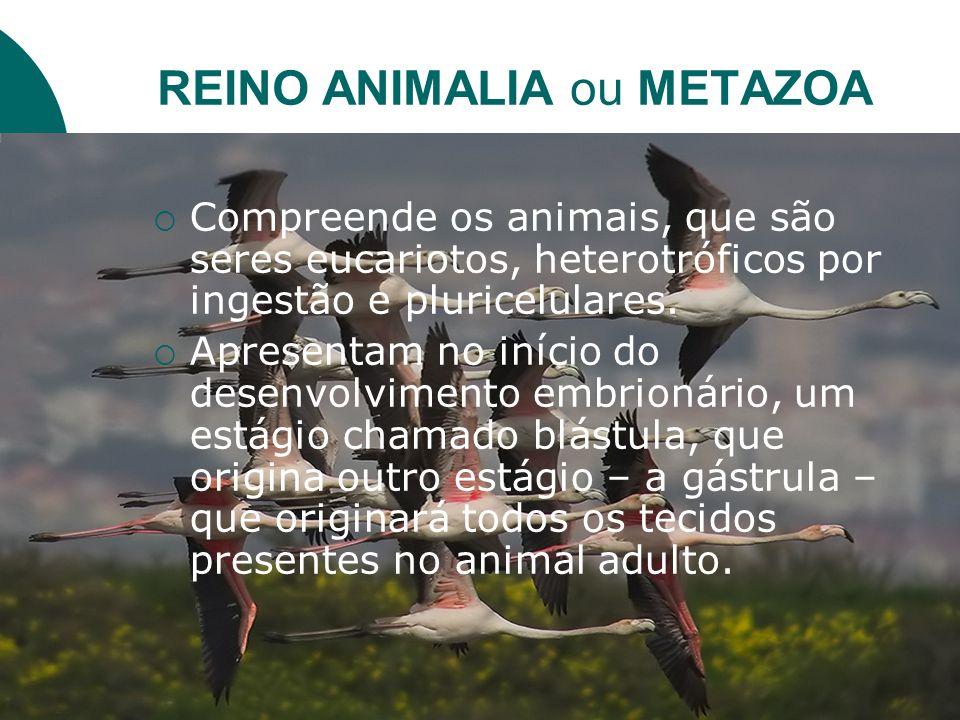 REINO ANIMALIA ou METAZOA Compreende os animais, que são seres eucariotos, heterotróficos por ingestão e pluricelulares. Apresentam no início do desen