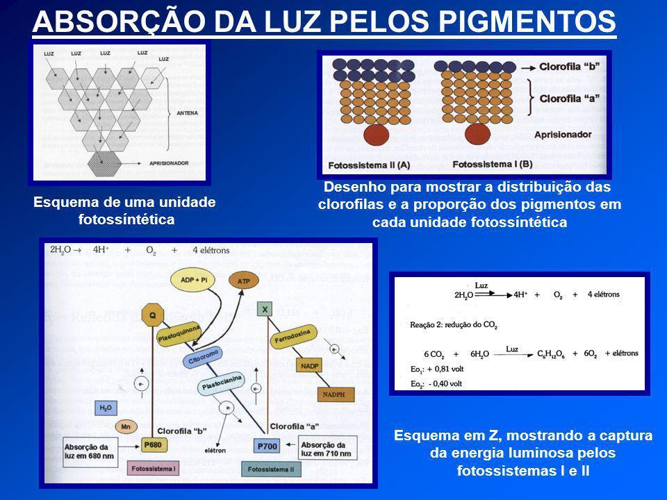 ABSORÇÃO DA LUZ PELOS PIGMENTOS Esquema de uma unidade fotossíntética Desenho para mostrar a distribuição das clorofilas e a proporção dos pigmentos e