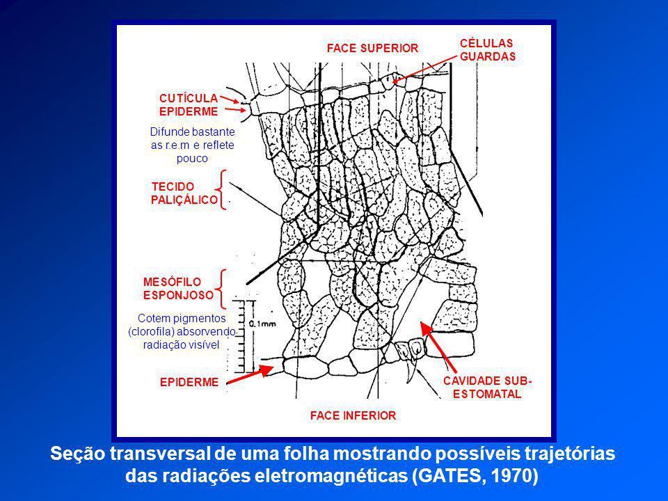 EPIDERME FACE INFERIOR TECIDO PALIÇÁLICO MESÓFILO ESPONJOSO FACE SUPERIOR CÉLULAS GUARDAS CUTÍCULA EPIDERME Difunde bastante as r.e.m e reflete pouco