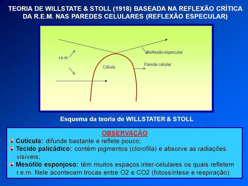 TEORIA DE WILLSTATE & STOLL (1918) BASEADA NA REFLEXÃO CRÍTICA DA R.E.M. NAS PAREDES CELULARES (REFLEXÃO ESPECULAR) OBSERVAÇÃO Cutícula: difunde basta