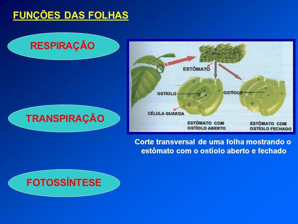 FUNÇÕES DAS FOLHAS TRANSPIRAÇÃO FOTOSSÍNTESERESPIRAÇÃO Corte transversal de uma folha mostrando o estômato com o ostíolo aberto e fechado