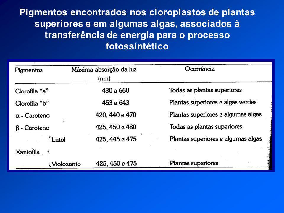 Pigmentos encontrados nos cloroplastos de plantas superiores e em algumas algas, associados à transferência de energia para o processo fotossíntético
