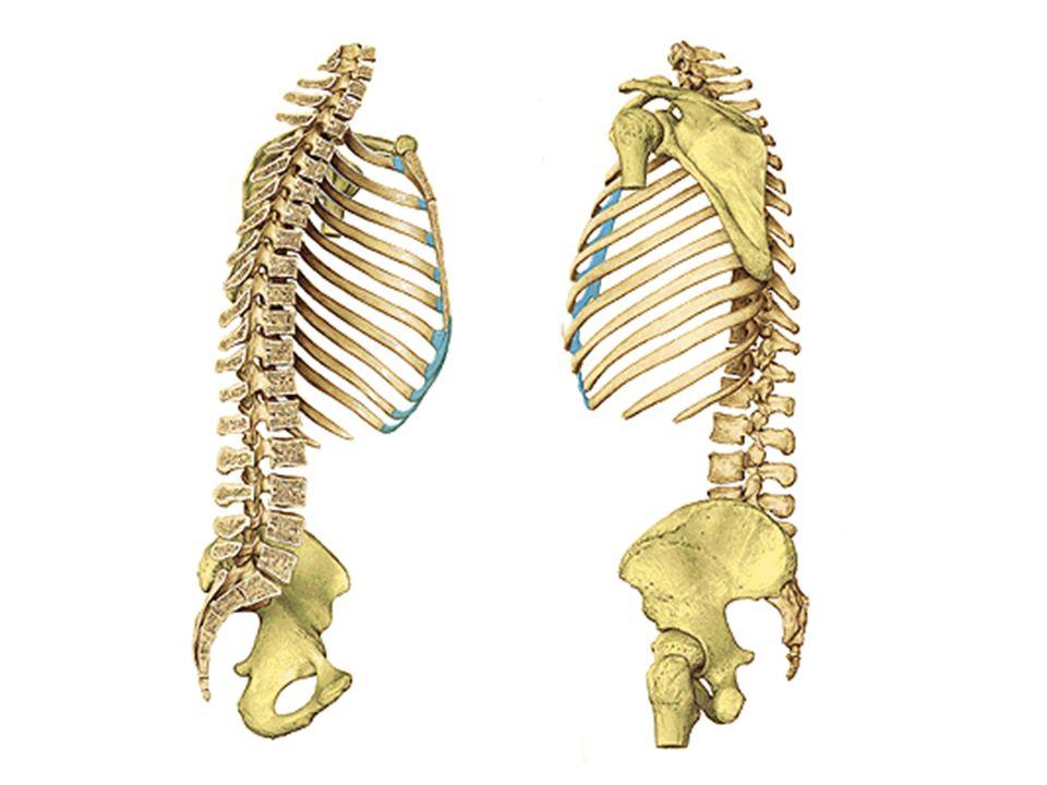 Ela é formada tipicamente por 33 vertébras dispostas em cinco regiões: –7 cervicais –12 torácicas –5 lombares –5 sacrais –4 coccígeas O movimento ocorre apenas entre 24 vértebras: 7 cervicais, 12 torácicas e 5 lombares.