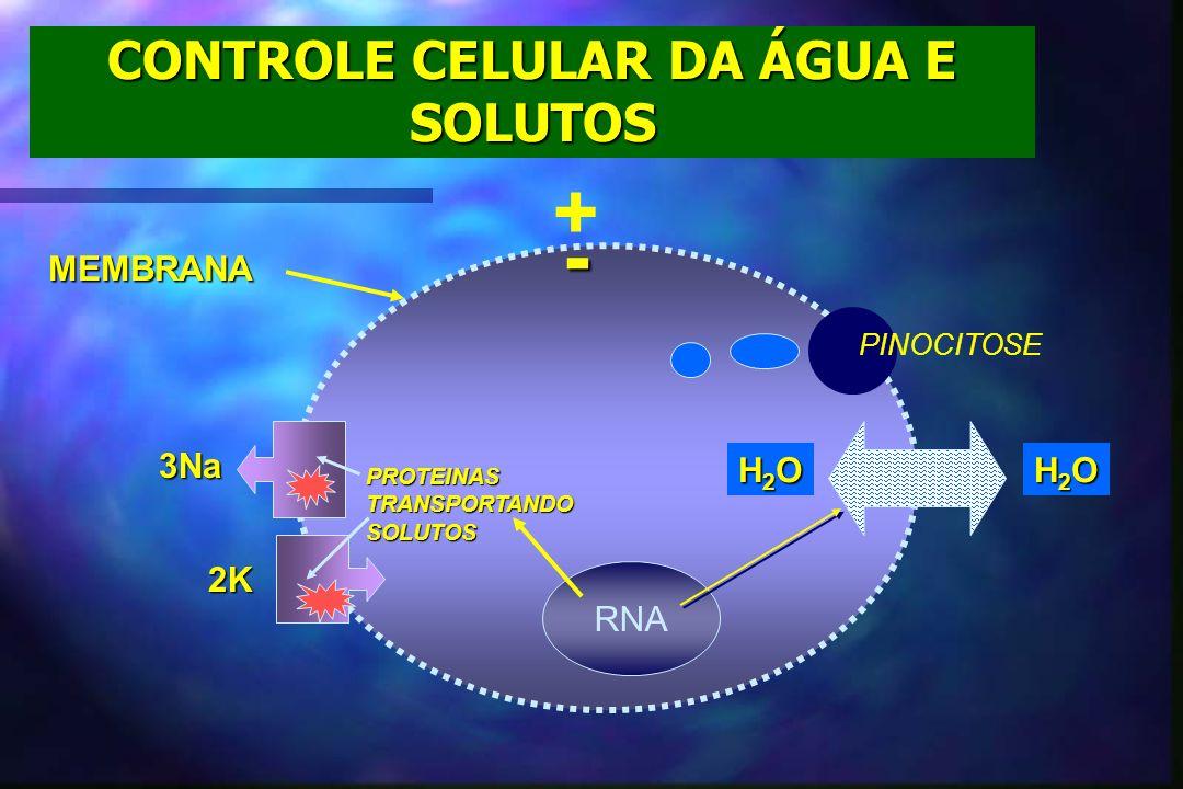 CONTROLE CELULAR DA ÁGUA E SOLUTOS MEMBRANA H2OH2OH2OH2O H2OH2OH2OH2O PINOCITOSE PROTEINASTRANSPORTANDOSOLUTOS RNA 3Na 2K - +