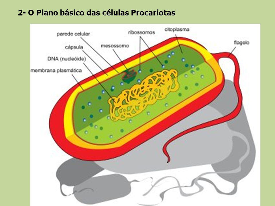 2- O Plano básico das células Procariotas