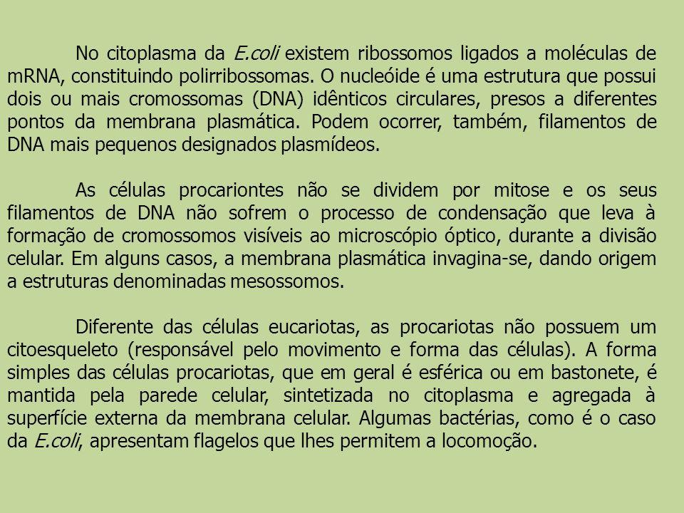 No citoplasma da E.coli existem ribossomos ligados a moléculas de mRNA, constituindo polirribossomas. O nucleóide é uma estrutura que possui dois ou m