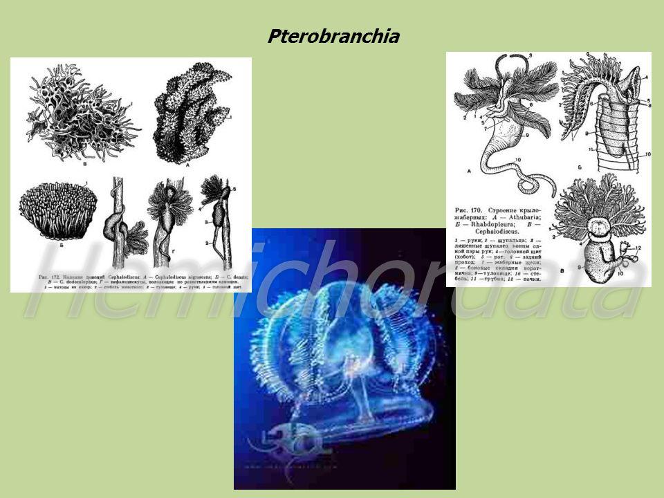 Pterobranchia