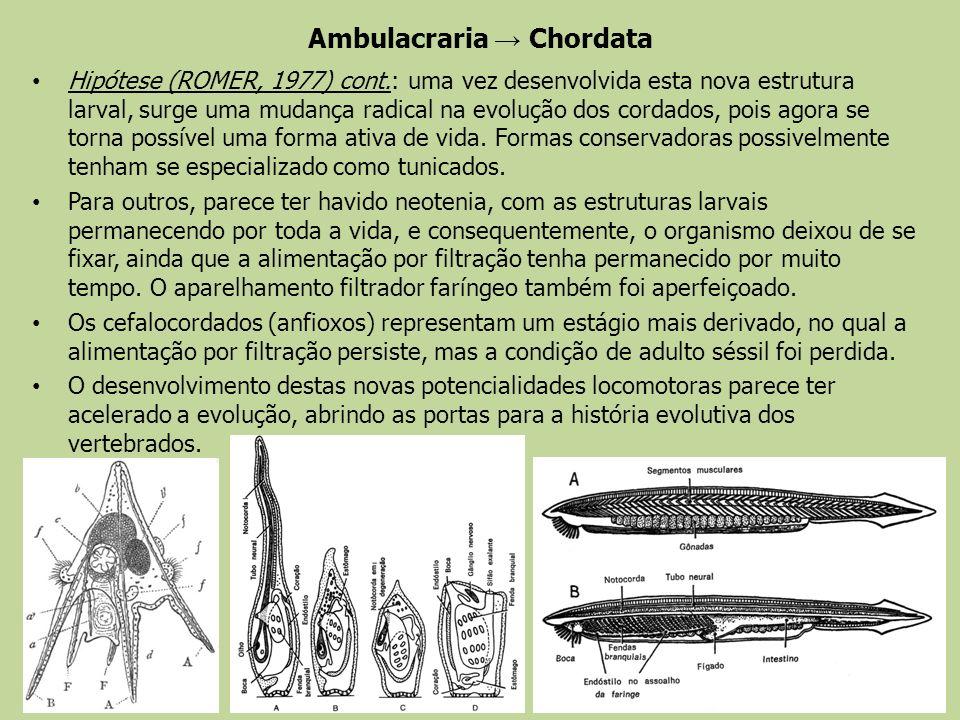 Ambulacraria Chordata Hipótese (ROMER, 1977) cont.: uma vez desenvolvida esta nova estrutura larval, surge uma mudança radical na evolução dos cordado