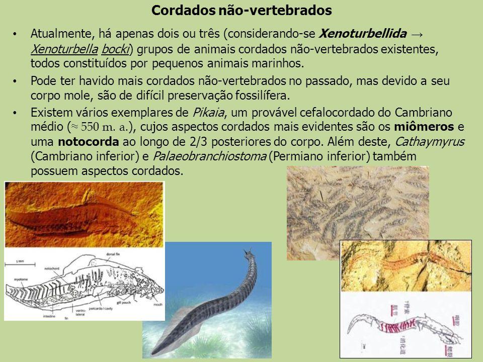 Cordados não-vertebrados Atualmente, há apenas dois ou três (considerando-se Xenoturbellida Xenoturbella bocki) grupos de animais cordados não-vertebr