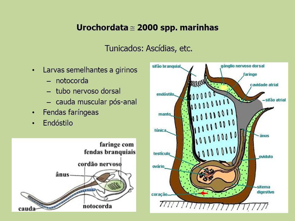 Urochordata 2000 spp. marinhas Tunicados: Ascídias, etc. Larvas semelhantes a girinos Larvas semelhantes a girinos – notocorda – tubo nervoso dorsal –