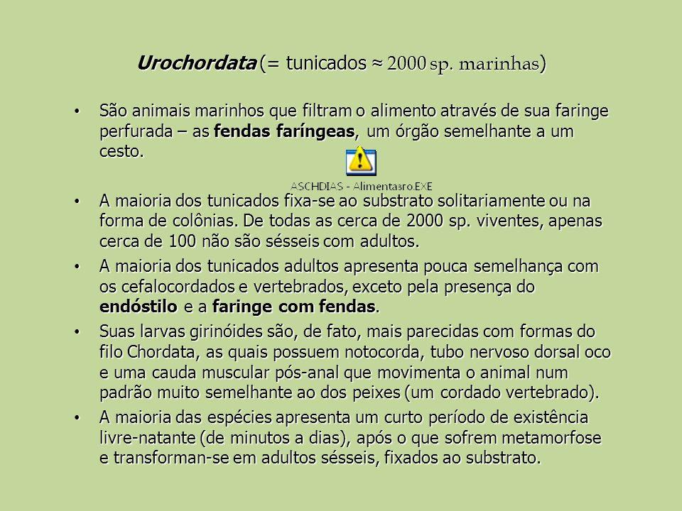 Urochordata (= tunicados 2000 sp. marinhas ) São animais marinhos que filtram o alimento através de sua faringe perfurada – as fendas faríngeas, um ór