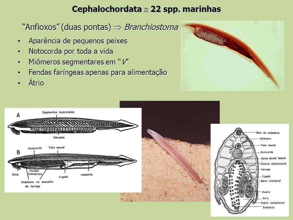 Cephalochordata 22 spp. marinhas Anfioxos (duas pontas) Branchiostoma Aparência de pequenos peixes Aparência de pequenos peixes Notocorda por toda a v