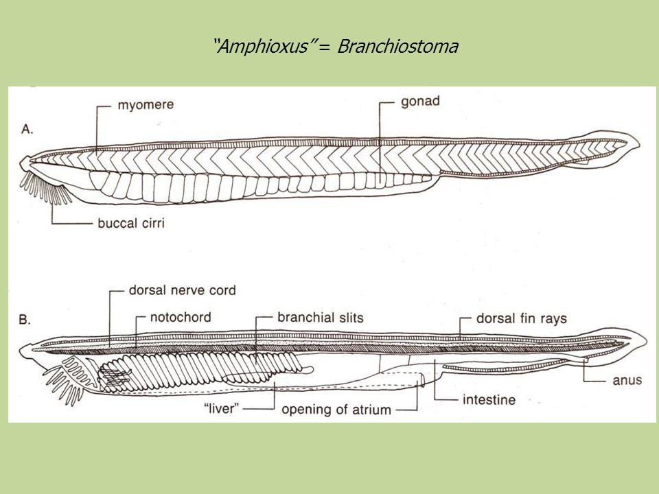 Amphioxus = Branchiostoma
