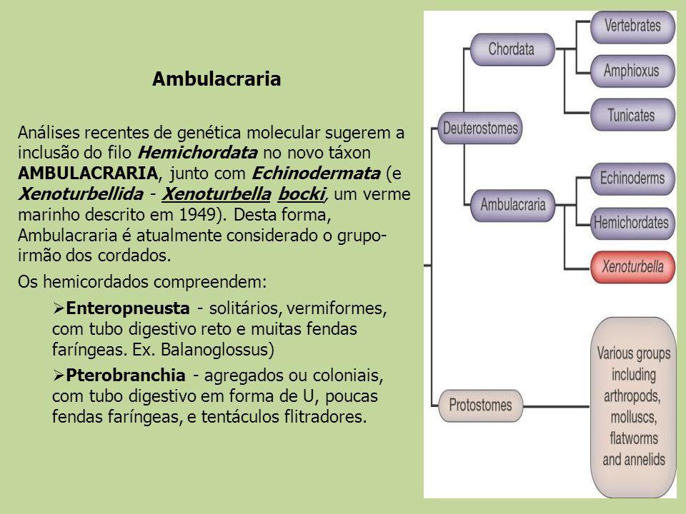 Análises recentes de genética molecular sugerem a inclusão do filo Hemichordata no novo táxon AMBULACRARIA, junto com Echinodermata (e Xenoturbellida