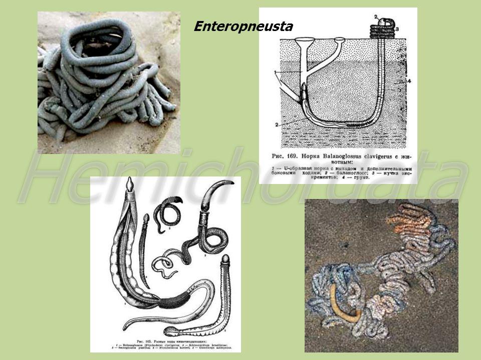 Enteropneusta Hemichordata