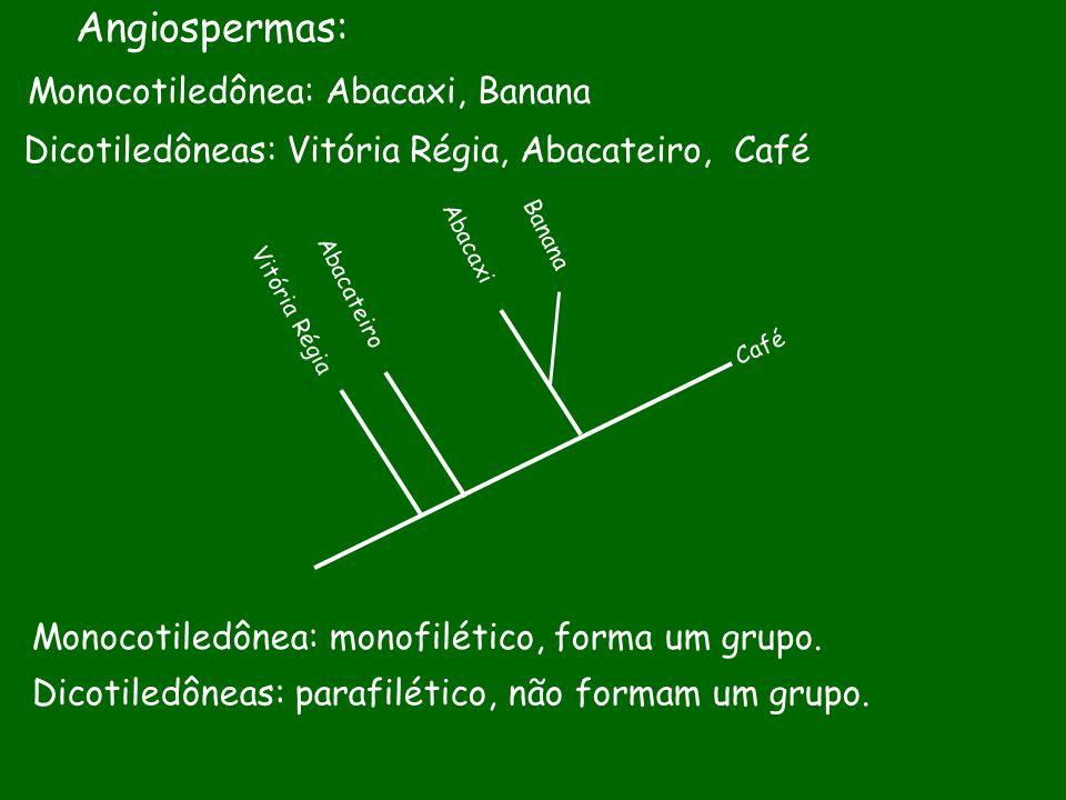 Angiospermas: Monocotiledônea: Abacaxi, Banana Dicotiledôneas: Vitória Régia, Abacateiro, Café Vitória Régia Abacateiro Abacaxi Café Banana Monocotile