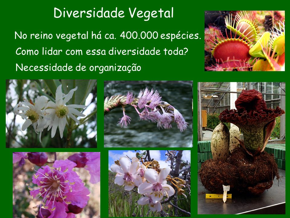 Diversidade Vegetal No reino vegetal há ca. 400.000 espécies. Como lidar com essa diversidade toda? Necessidade de organização