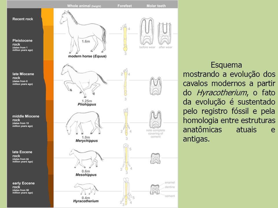 Esquema mostrando a evolução dos cavalos modernos a partir do Hyracotherium, o fato da evolução é sustentado pelo registro fóssil e pela homologia ent