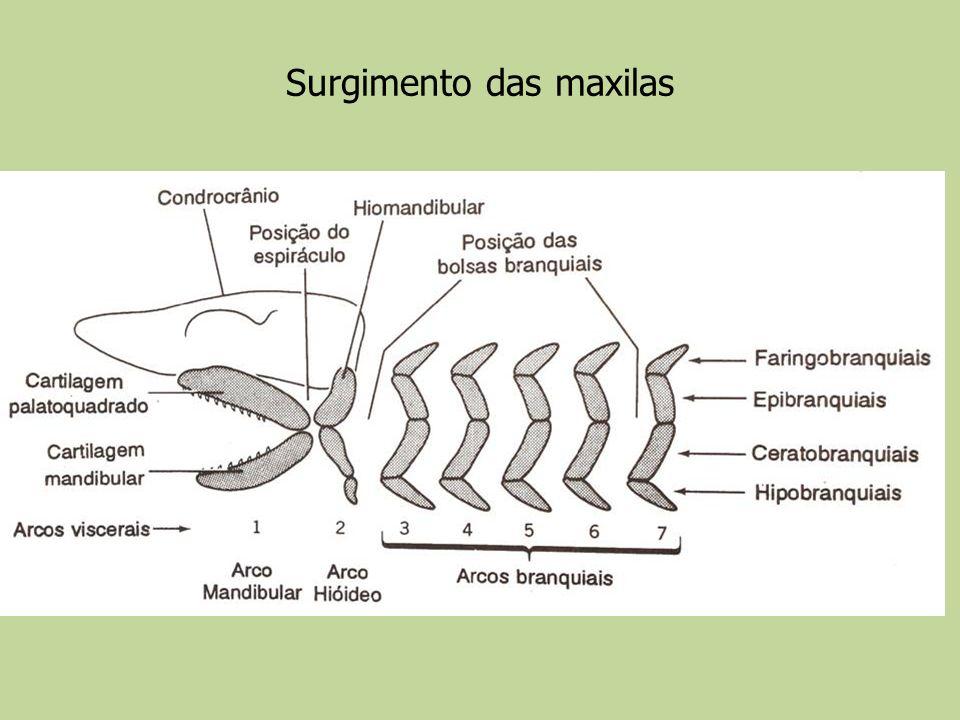 Surgimento das maxilas