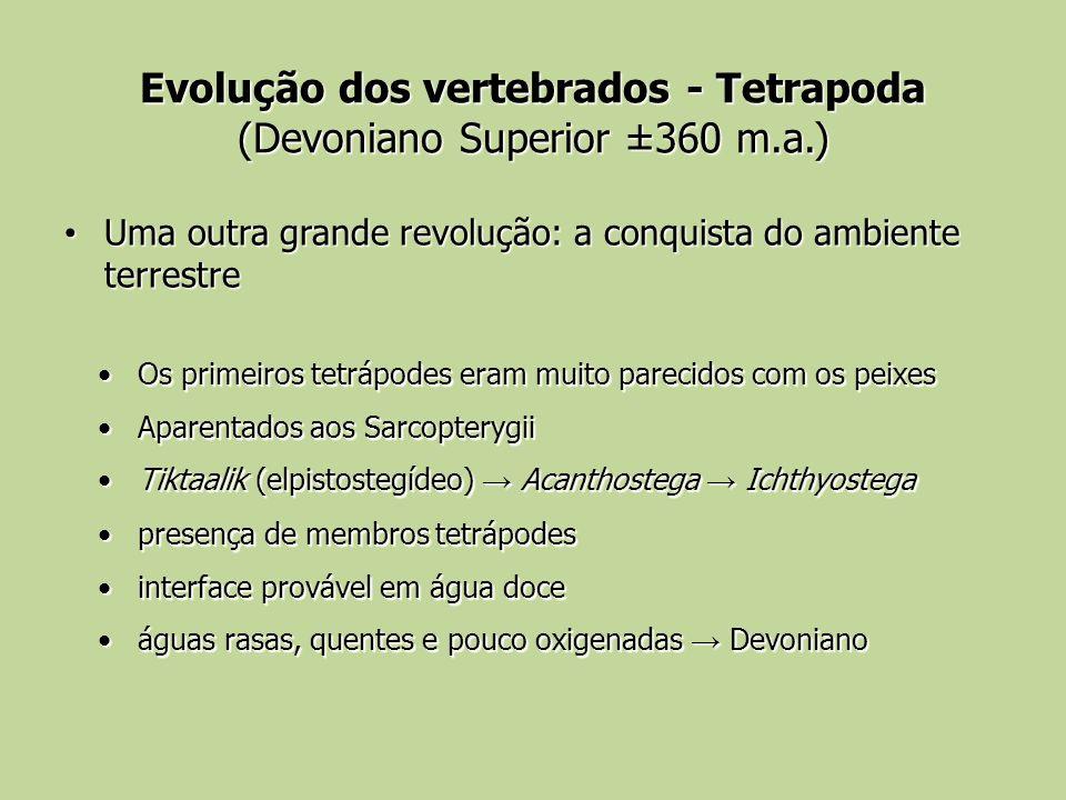 Evolução dos vertebrados - Tetrapoda (Devoniano Superior ±360 m.a.) Uma outra grande revolução: a conquista do ambiente terrestre Uma outra grande rev