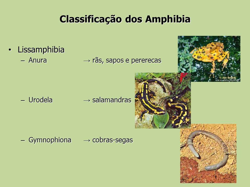 Classificação dos Amphibia Lissamphibia Lissamphibia – Anura rãs, sapos e pererecas – Urodela salamandras – Gymnophiona cobras-segas
