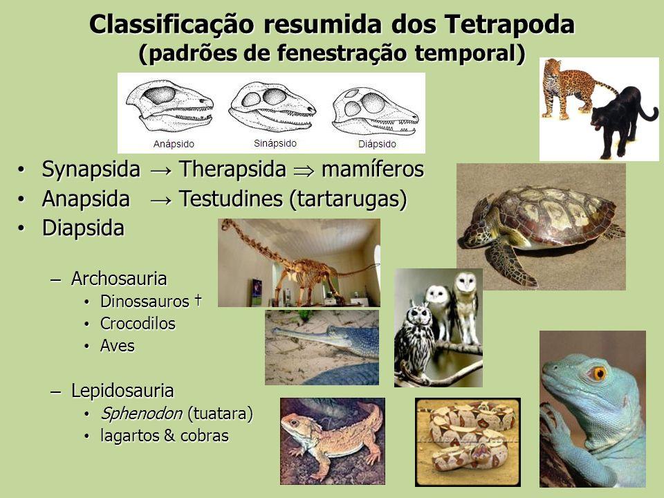 Classificação resumida dos Tetrapoda (padrões de fenestração temporal) Synapsida Therapsida mamíferos Synapsida Therapsida mamíferos Anapsida Testudin