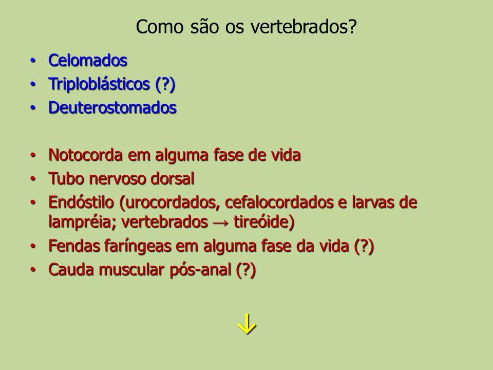 Como são os vertebrados? Celomados Celomados Triploblásticos (?) Triploblásticos (?) Deuterostomados Deuterostomados Notocorda em alguma fase de vida