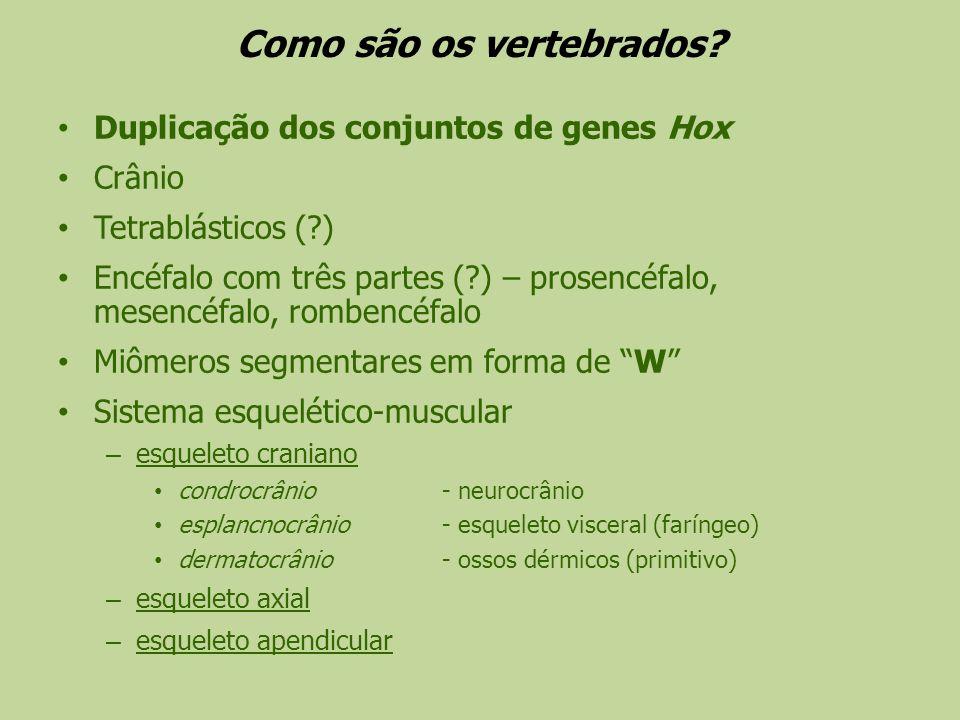 Como são os vertebrados? Duplicação dos conjuntos de genes Hox Crânio Tetrablásticos (?) Encéfalo com três partes (?) – prosencéfalo, mesencéfalo, rom