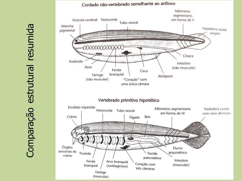 Definições & Confusões Cefalização Genes Hox| Cephalochordata | Vertebrata (feiticeiras não possuem vértebras) | Vertebrata (feiticeiras não possuem vértebras)Termos Craniata X Vertebrata Folhetos germinativos (ectoderme + mesoderme + endoderme) + crista neural