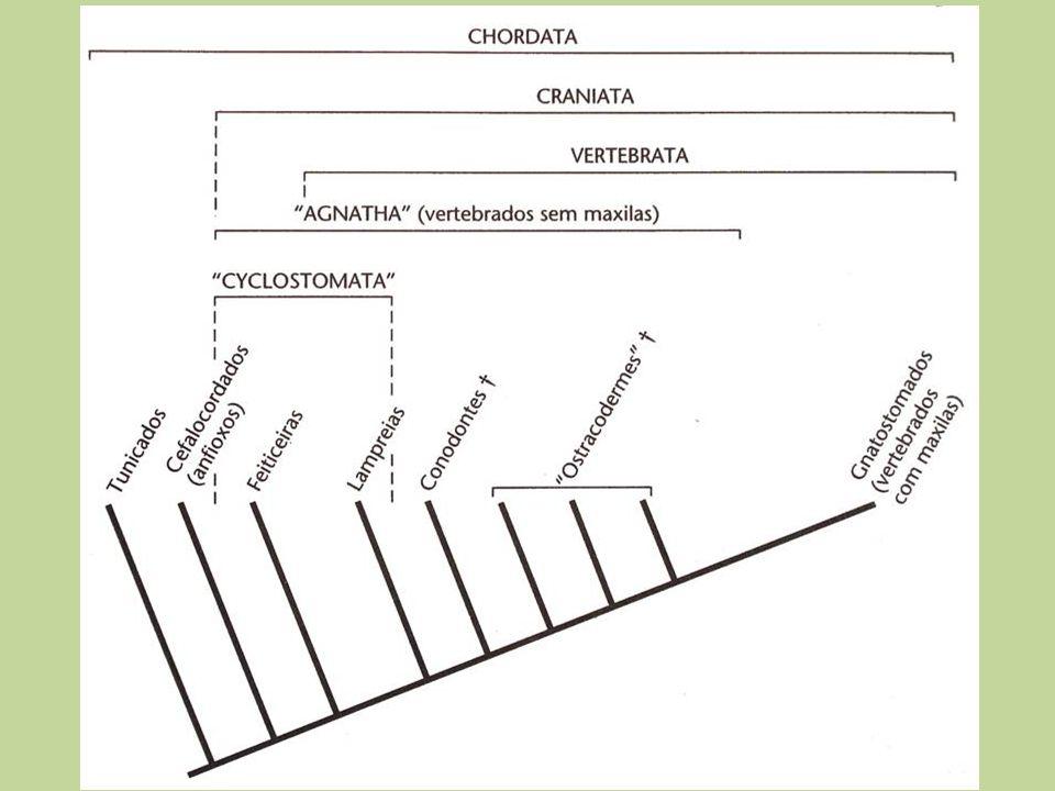 Evolução dos vertebrados - Agnatha (Cambriano ±500 m.a.) Tradicionalmente as primeiras evidências eram de Ostracodermes (Ordoviciano 480 m.a.).