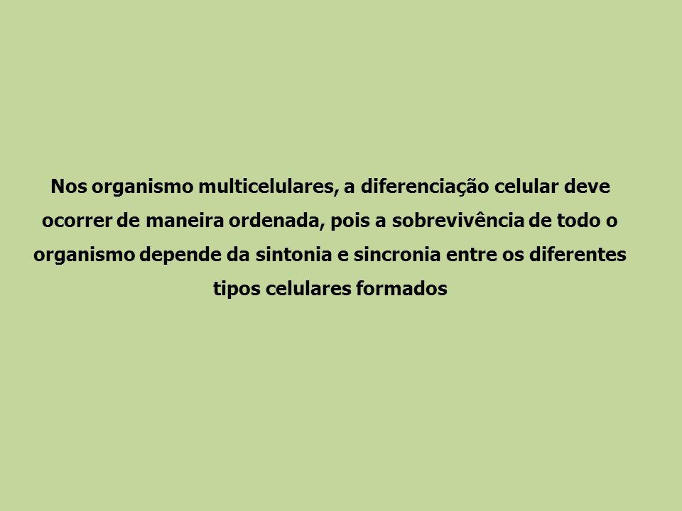 Nos organismo multicelulares, a diferenciação celular deve ocorrer de maneira ordenada, pois a sobrevivência de todo o organismo depende da sintonia e