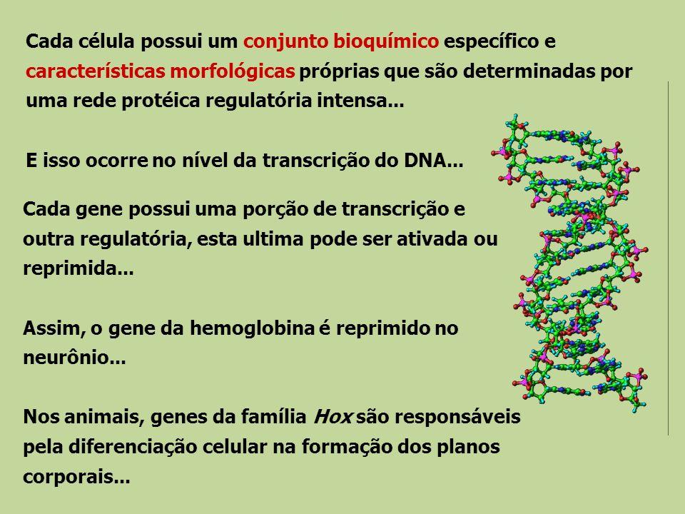 Cada célula possui um conjunto bioquímico específico e características morfológicas próprias que são determinadas por uma rede protéica regulatória in