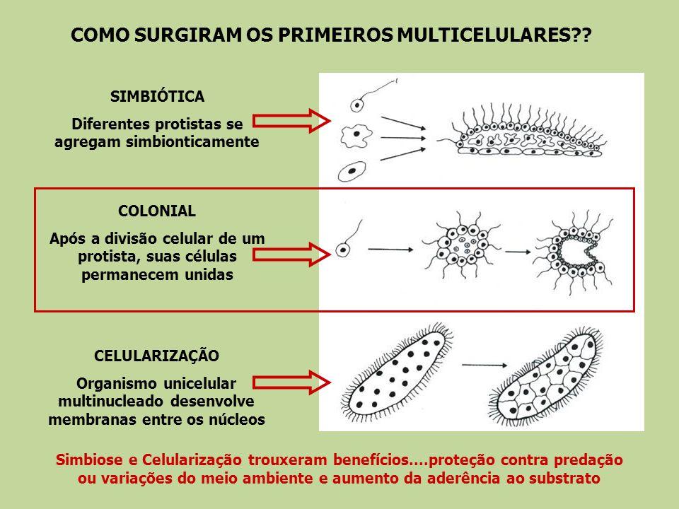 Essa diferenciação ocorre nos estágios iniciais de desenvolvimento.......e permanecem ao longo da vida do organismo...
