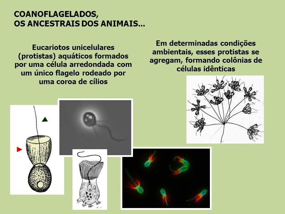 Há 135 anos, biólogos notaram que células muito semelhantes aos COANOFLAGELADOS faziam parte da estrutura das esponjas......e chamaram essas células de COANÓCITO