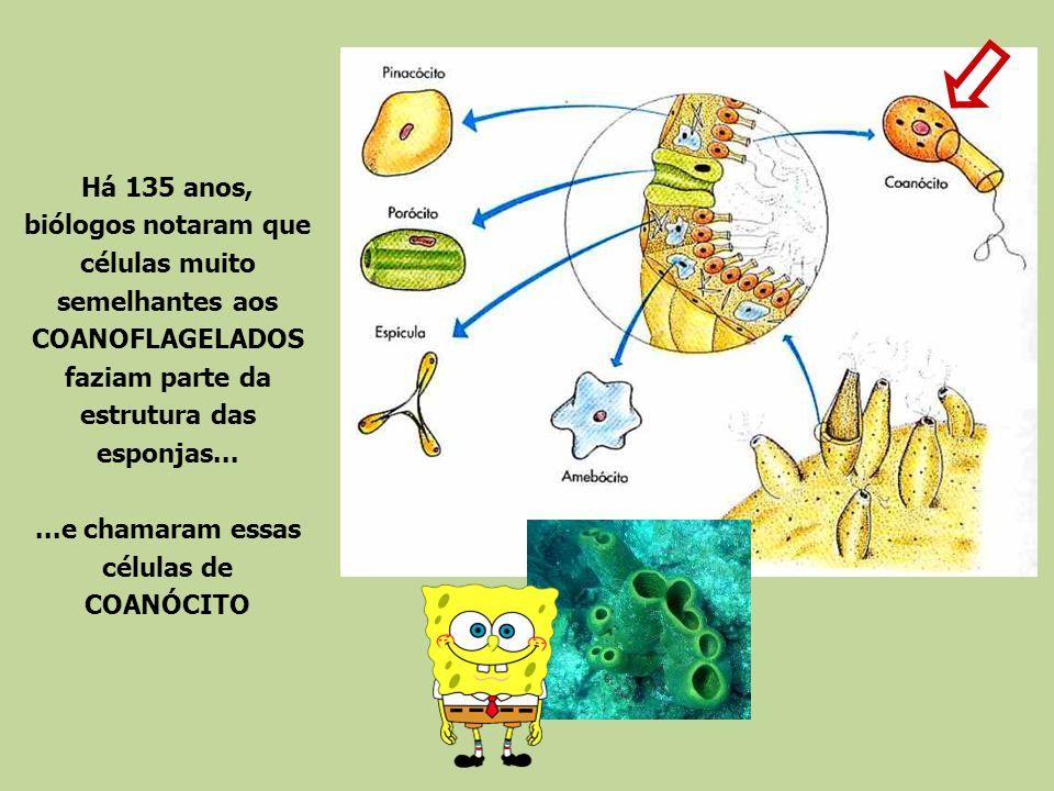 Há 135 anos, biólogos notaram que células muito semelhantes aos COANOFLAGELADOS faziam parte da estrutura das esponjas......e chamaram essas células d