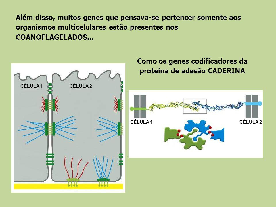 Além disso, muitos genes que pensava-se pertencer somente aos organismos multicelulares estão presentes nos COANOFLAGELADOS... Como os genes codificad