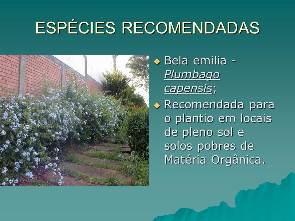 ESPÉCIES RECOMENDADAS Bela emilia - Plumbago capensis; Bela emilia - Plumbago capensis; Recomendada para o plantio em locais de pleno sol e solos pobr