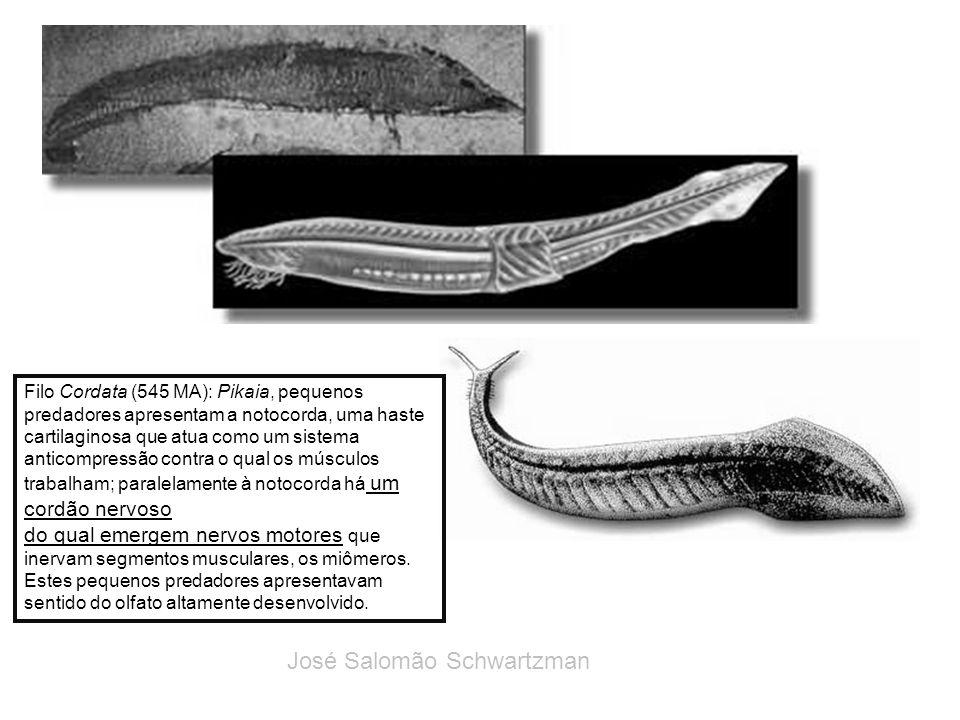 Filo Cordata (545 MA): Pikaia, pequenos predadores apresentam a notocorda, uma haste cartilaginosa que atua como um sistema anticompressão contra o qu